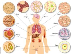 Image: Schematic image of the human body with different organ systems; Copyright: panthermedia.net/rob3000